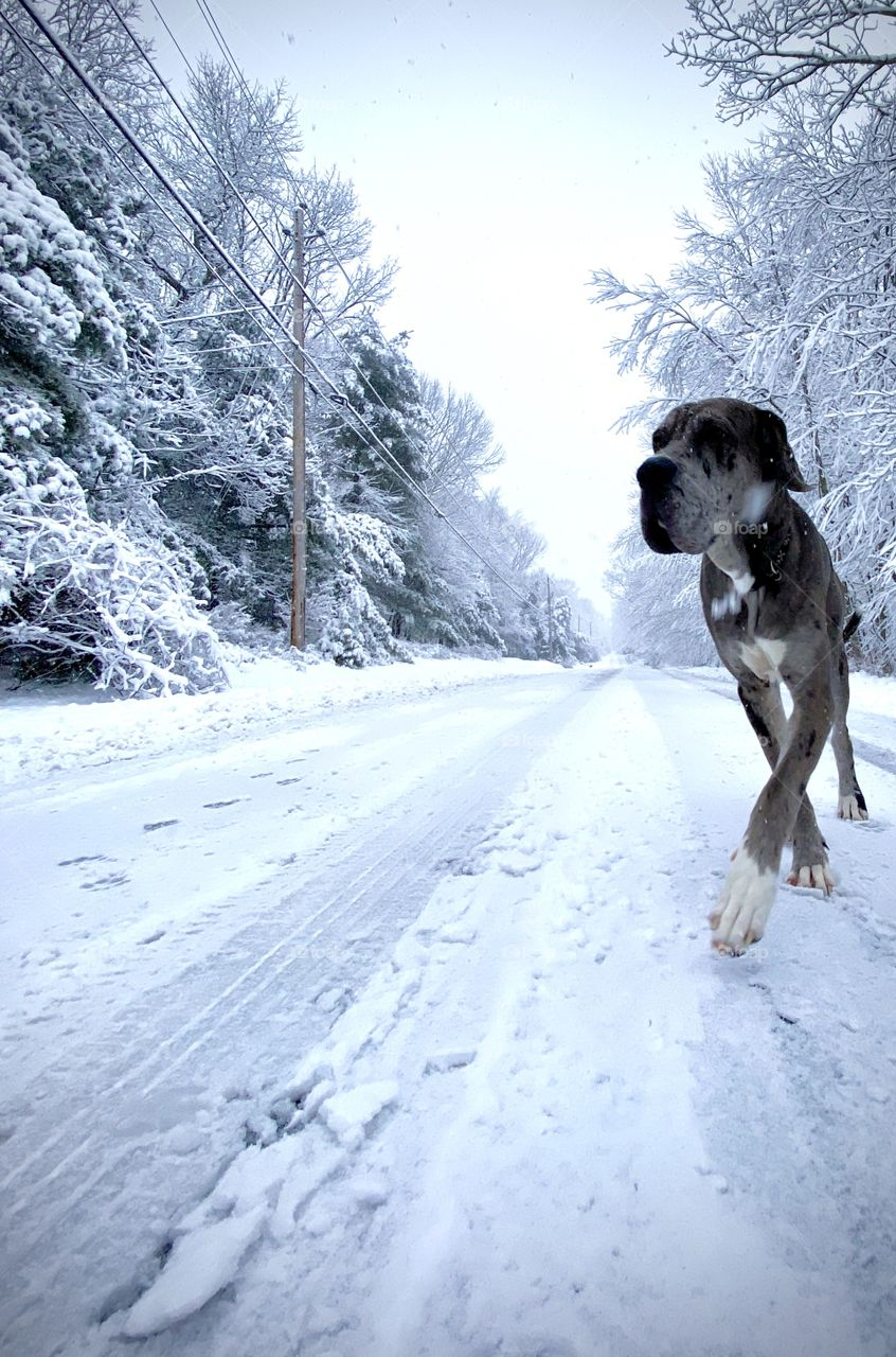 1 year old Great dane/Mastiff puppy trotting down a snow and ice covered road while snowing