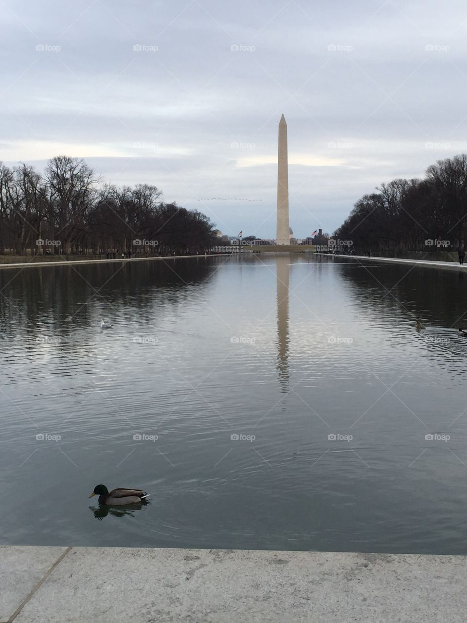 Washington Monument and Reflection Pool. Washington Monument with a duck swimming in the Reflection Pool.