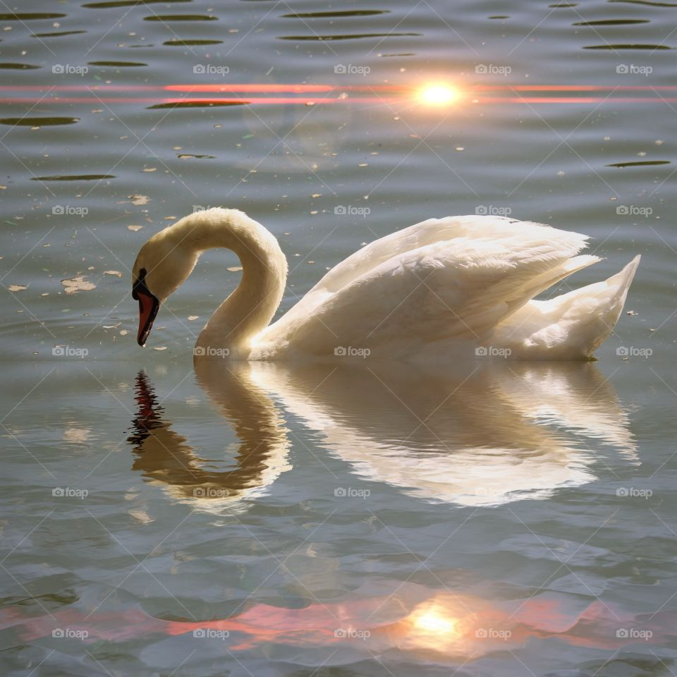 Reflection of swan in water