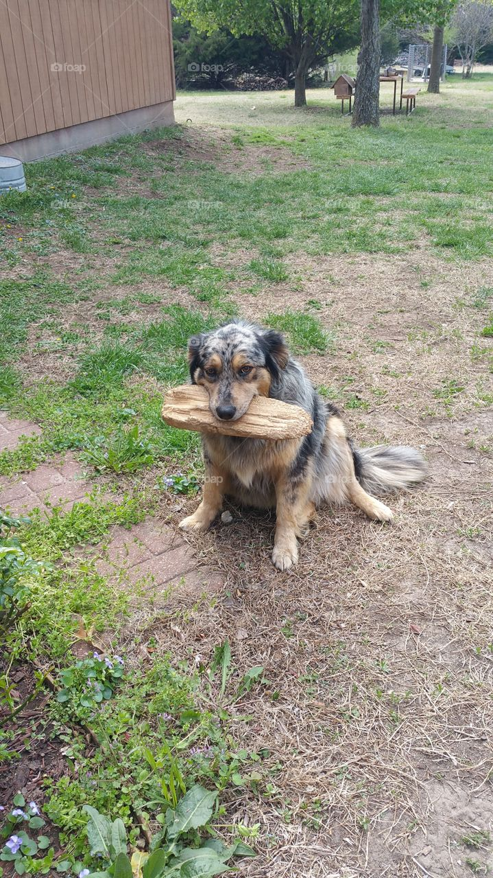 Dog carrying wood in mouth