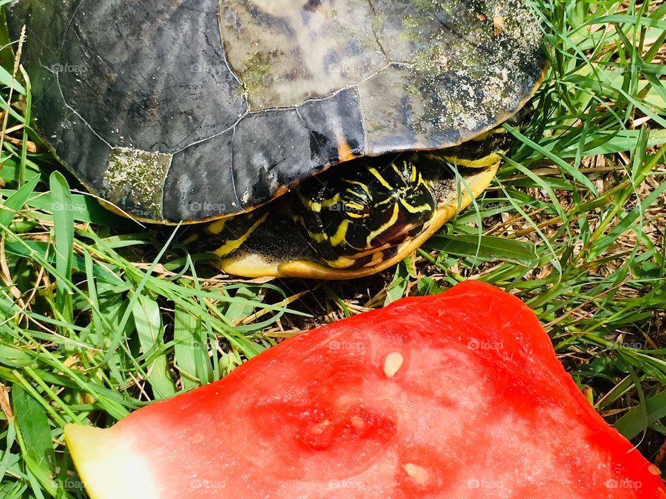 Green turtle eating watermelon in Florida 🍉