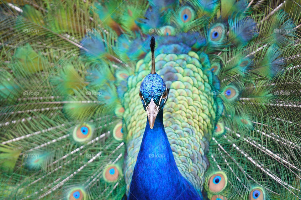 blue bird feathers peacock by ippocampo