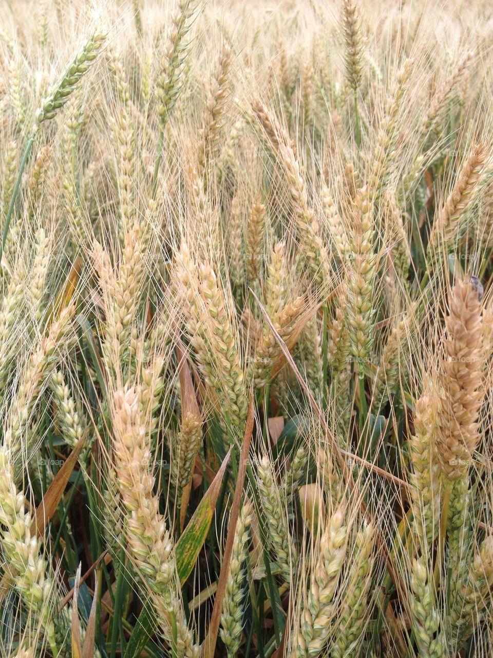 Close-up of barley grass