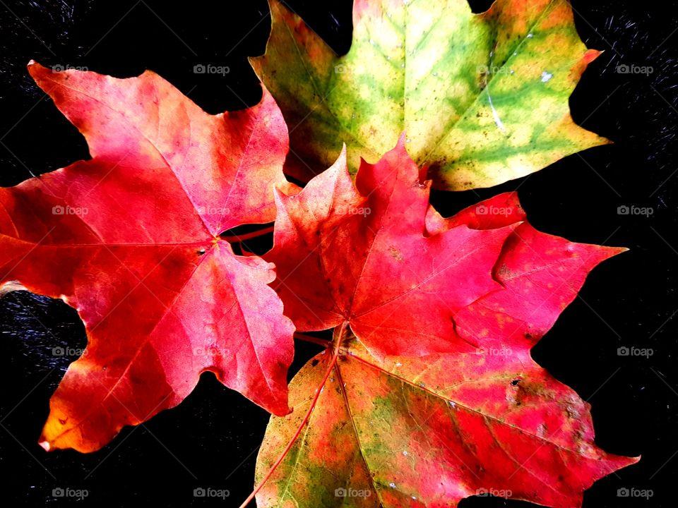 norwegian maple leaves
