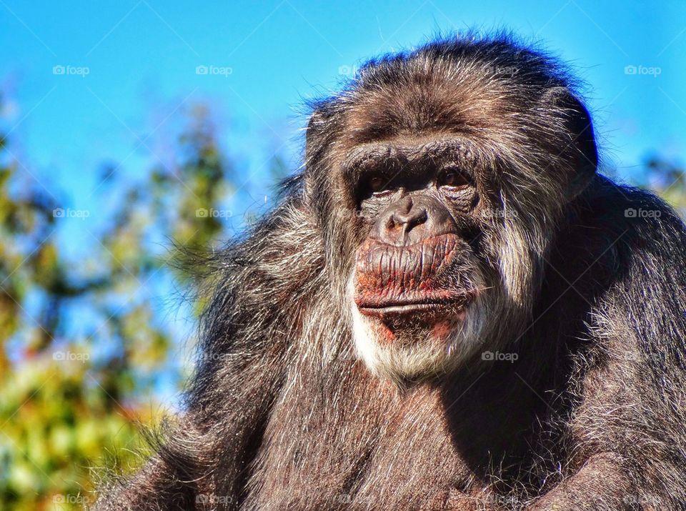 Relaxing Chimpanzee. Chimpanzee Staring At You