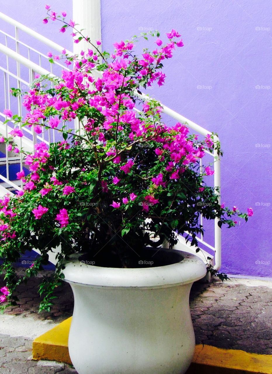 Fuchsia Flowers in Pot Against Purple Wall