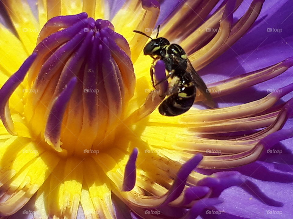 Close up of bee on lotus flower