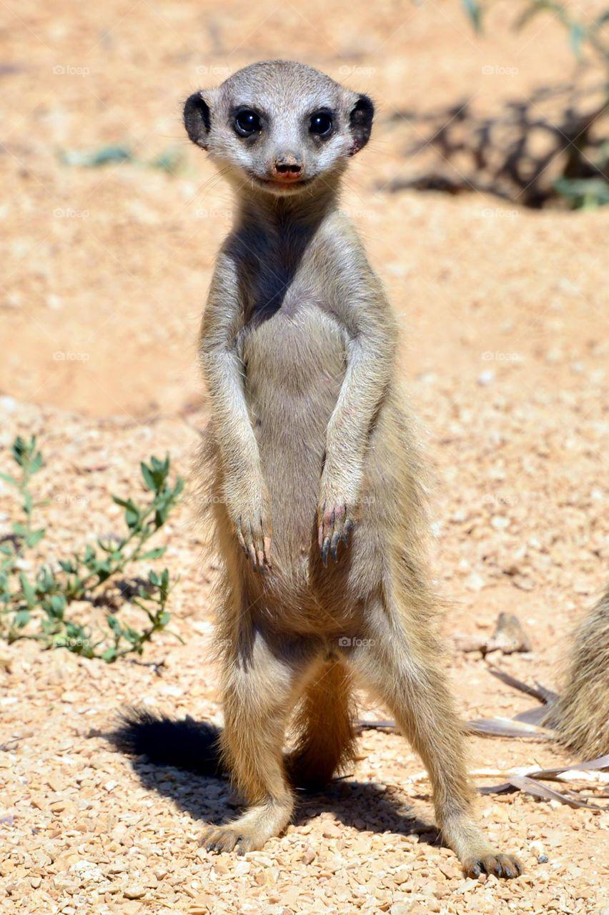 Portrait of mongoose