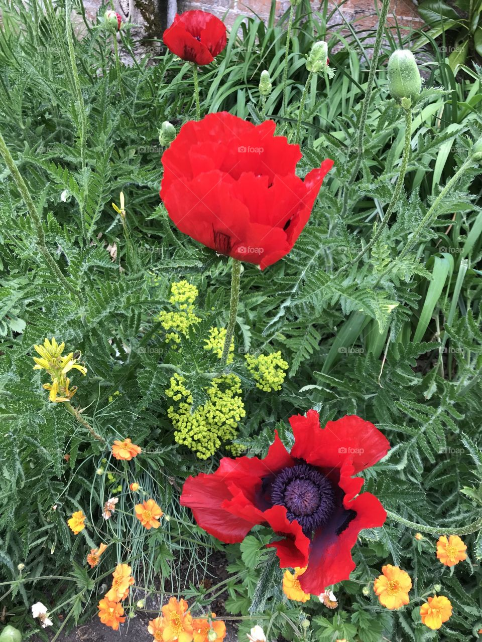 Some lovely examples of poppies in fine shape and giving a huge splash of color to these gardens.