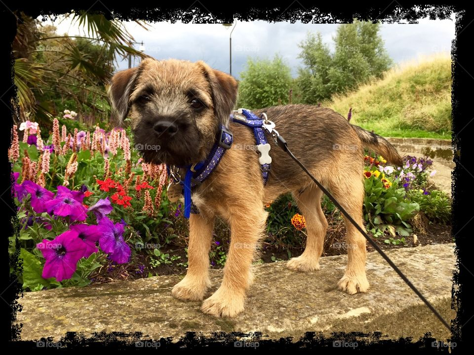 Border terrier puppy. My puppy posing amongst the flowers