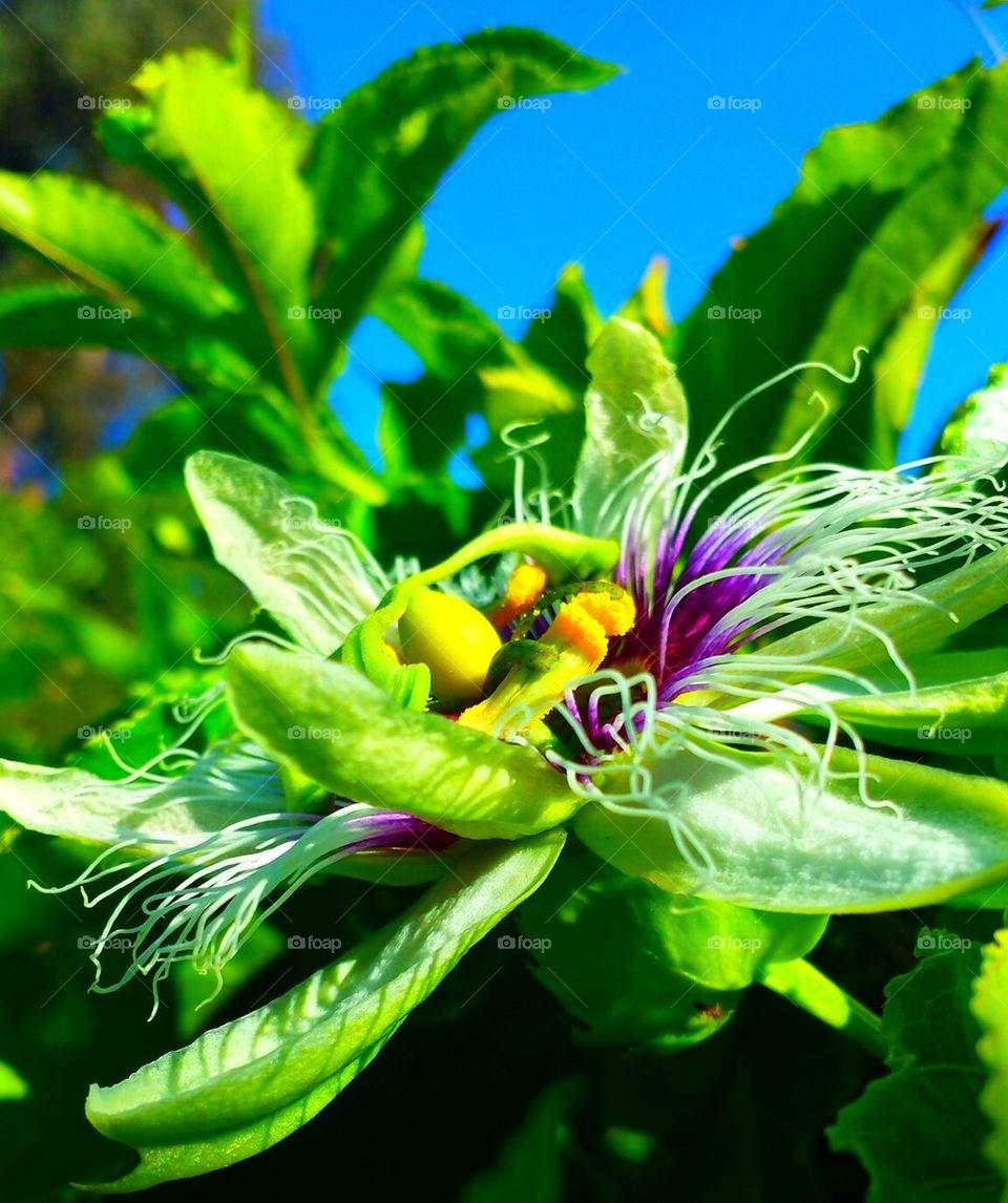 """Passion Flower"""