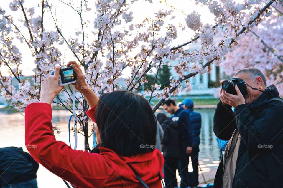 Photographers at work at Cherry Blossom time