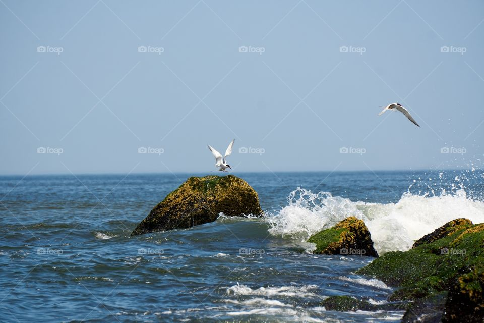 Tern flying up from a rock due to incoming wave crashing against the rock at the beach
