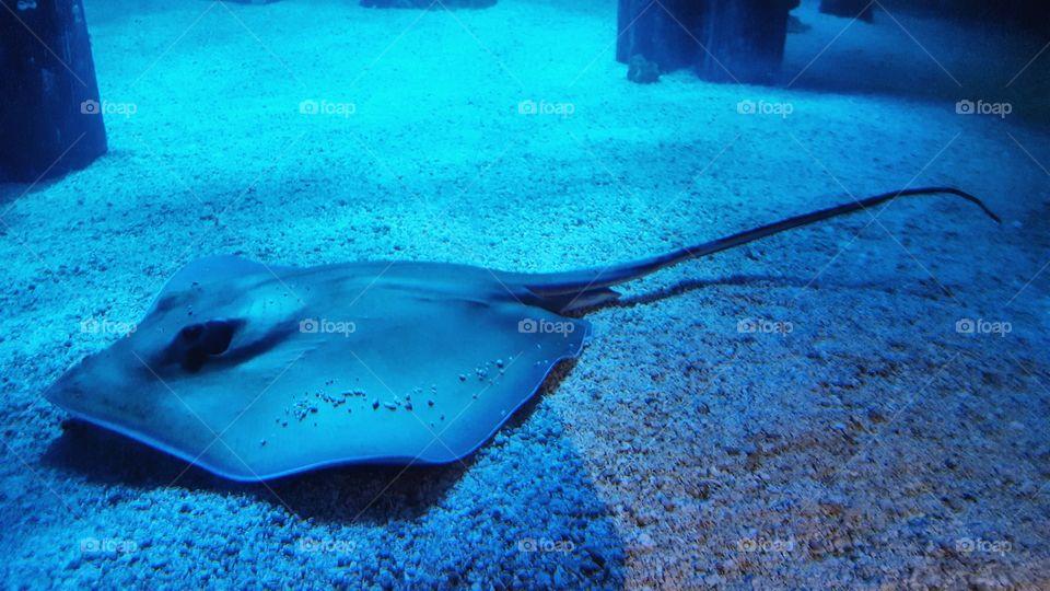Stingray swimming underwater