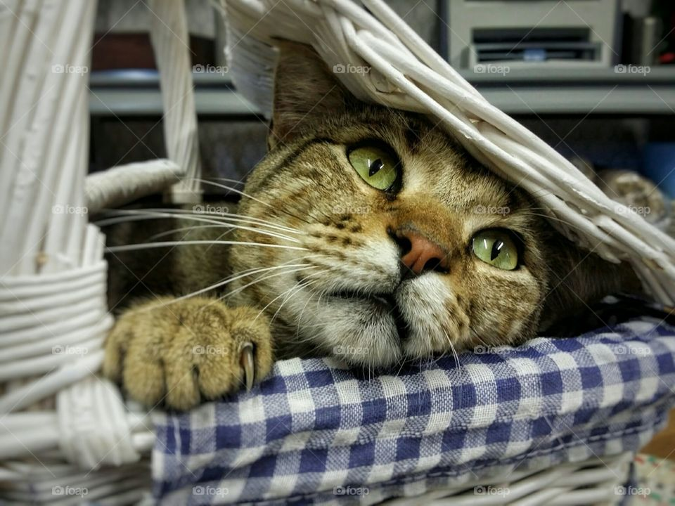 Beautiful tabby cat peeking out of a white wicker picnic basket looking sweet with big green eyes and a blue and white check cloth