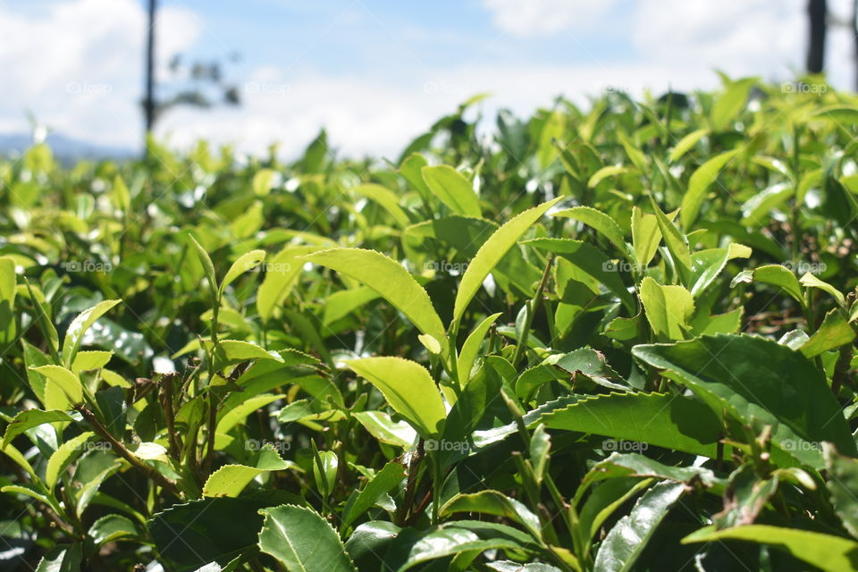 Close up snap of tea leaves