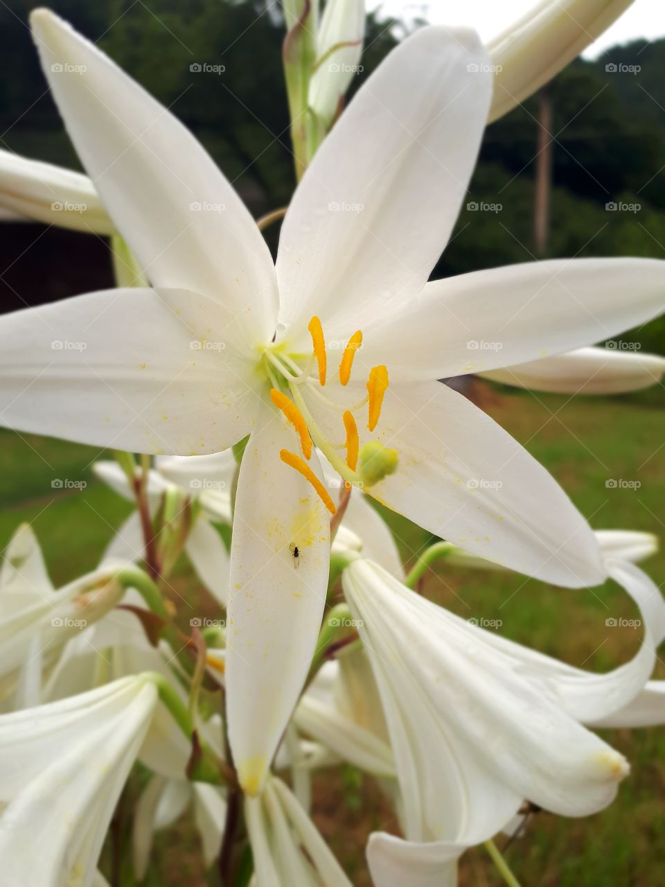 White lilies look beautiful and their smell is pleasant and refreshing