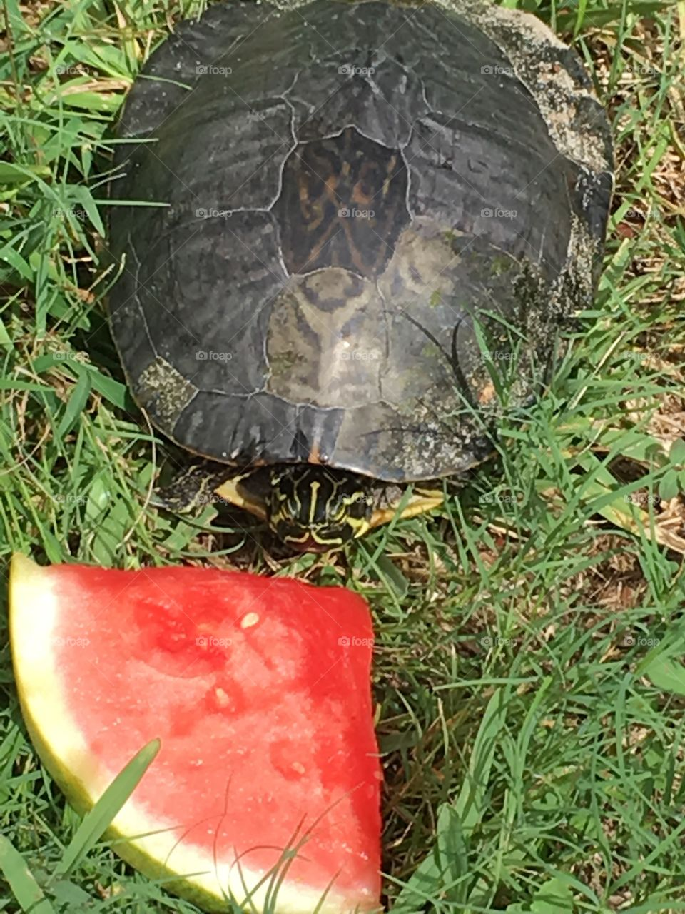 Green Florida turtle eating watermelon 🍉