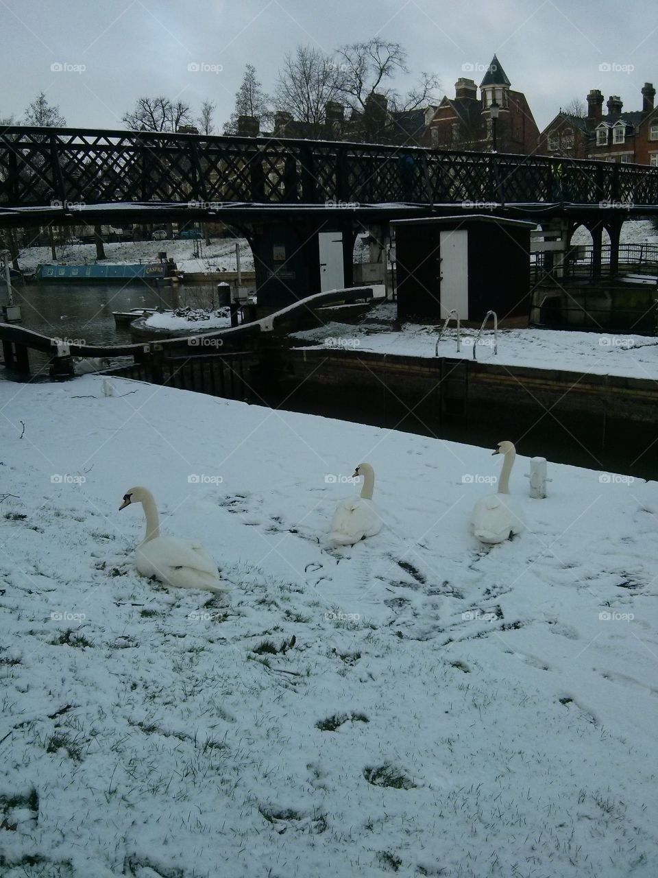 Swans on the snow