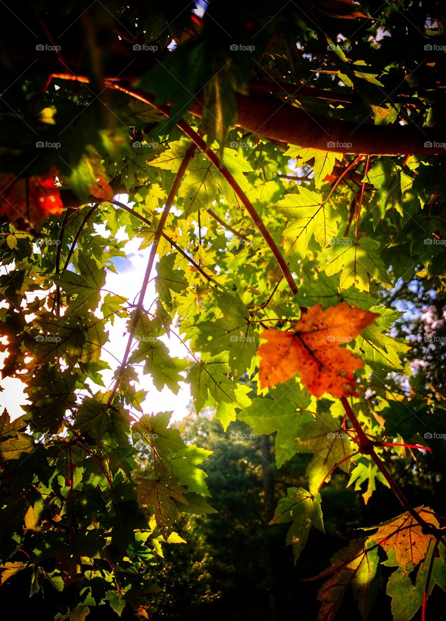 Maple leaves on tree branches started to change color. Blue sky and morning sunlight peeking through