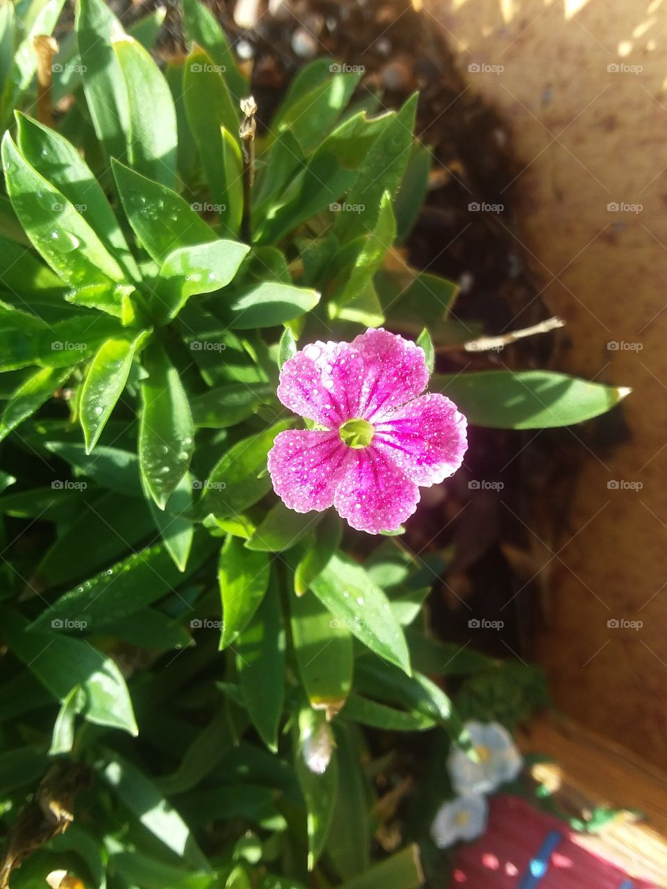 Glittering Pink 'Sweet William' Dianthus in the morning sun.