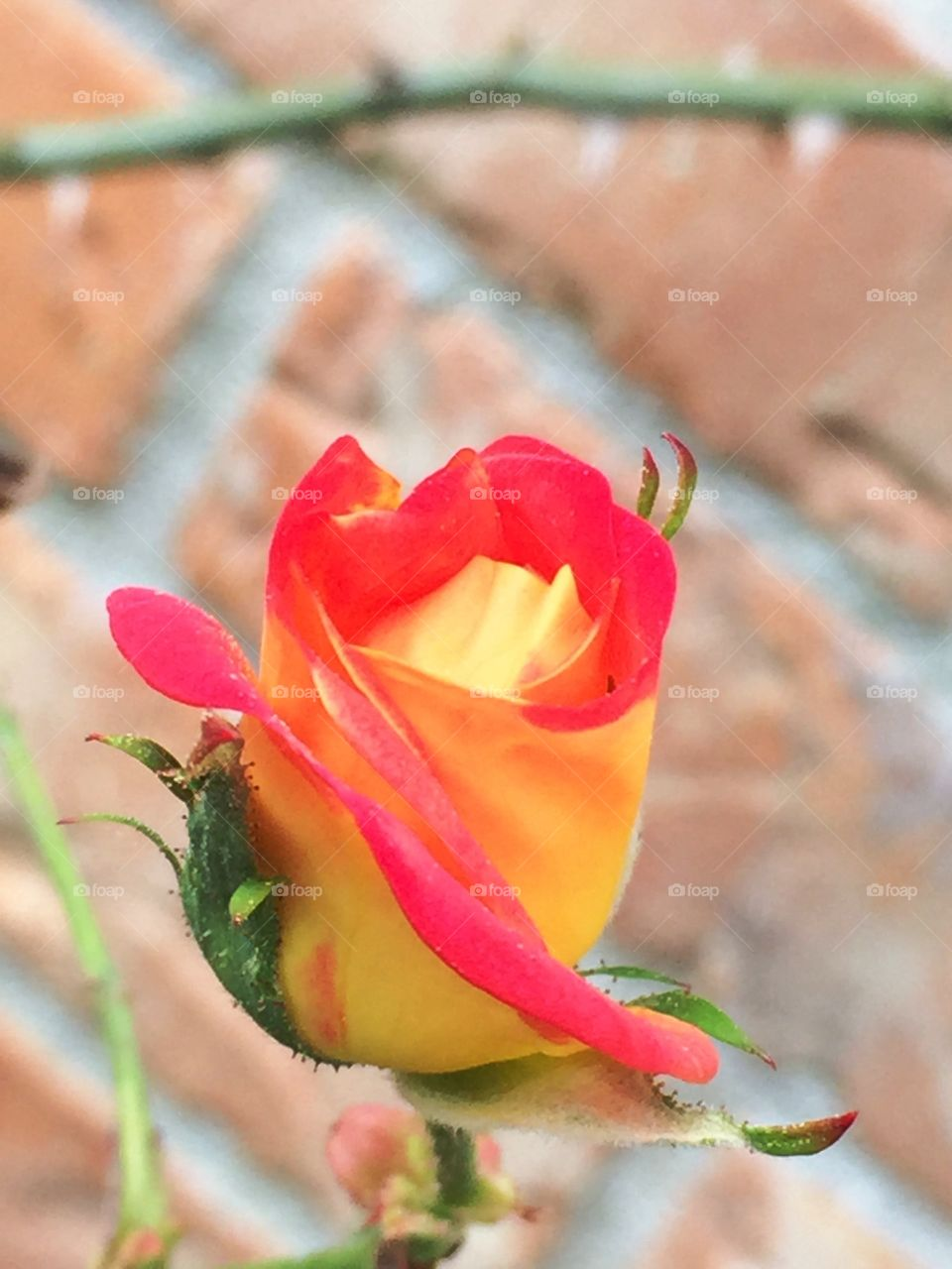 Orange and yellow rose bud in the garden