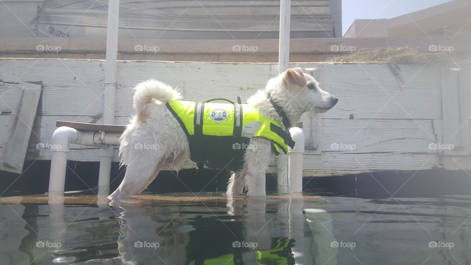 jack russell mix in life jacket at the river