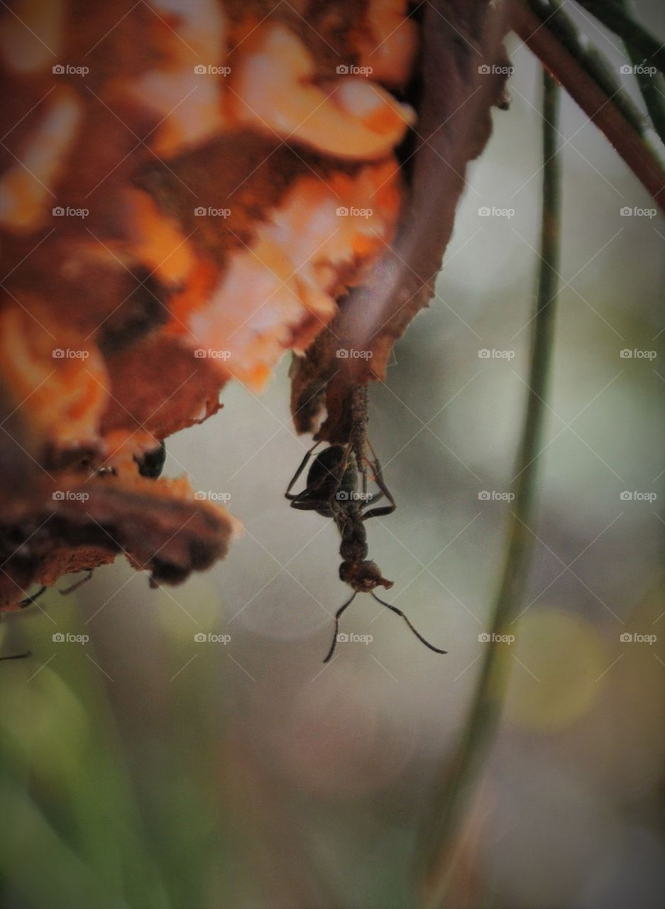 ant on pine tree branch hanging upside-down, guarding nest