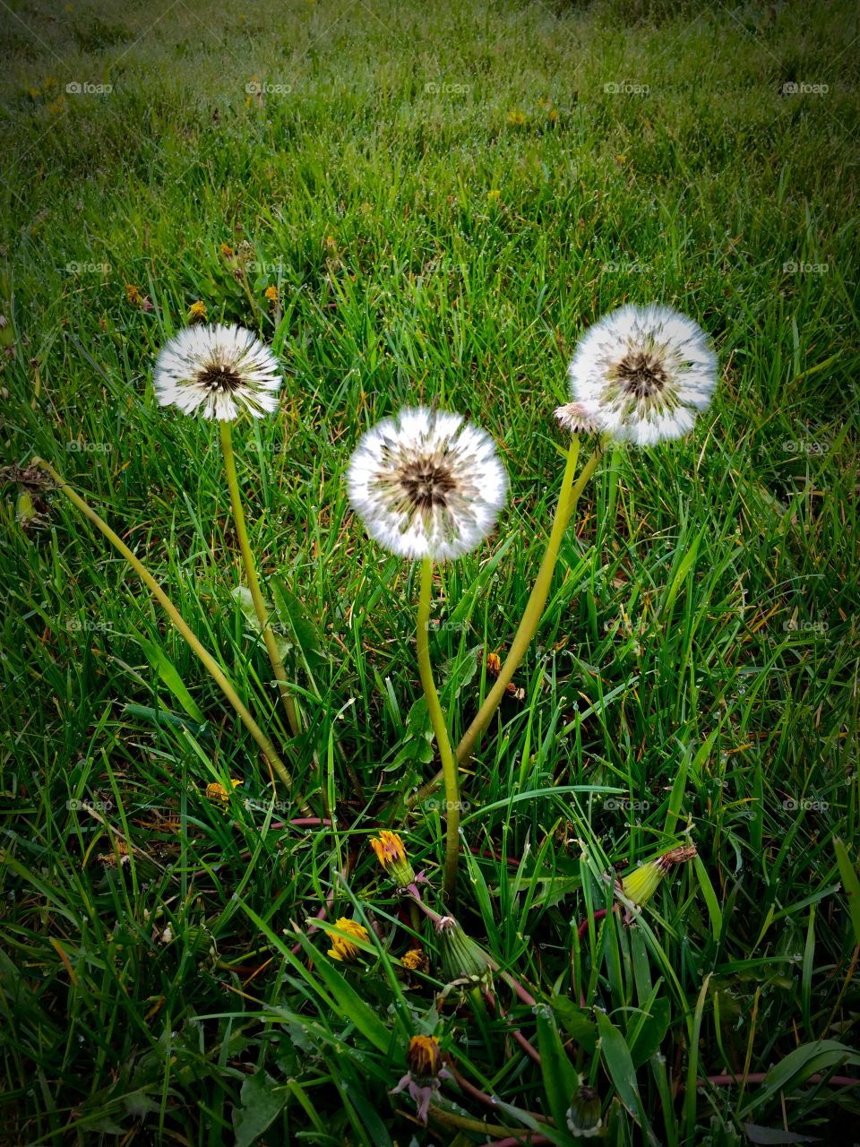 Dandelions Can Be Pretty Too