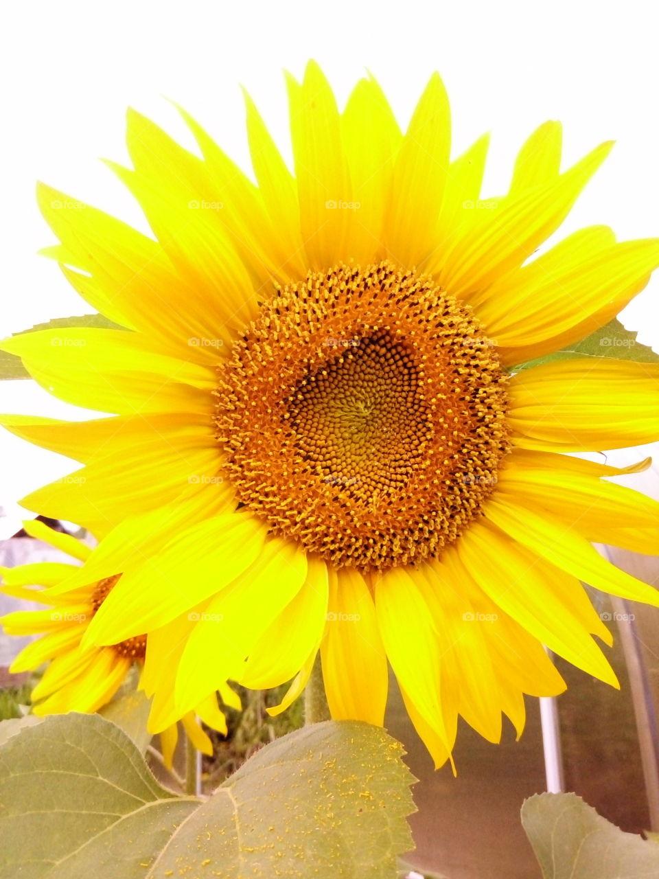 подсолнух.лето.солнышко.природа.флора.