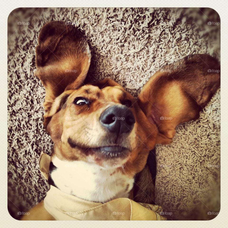 smile dog ears big ears by comstock