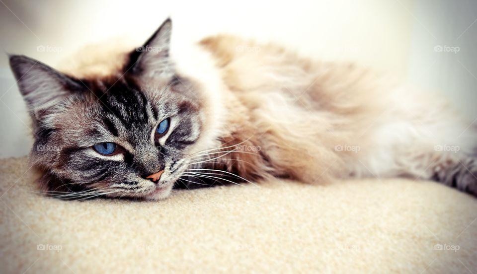 fluffy longhaired Ragdoll cat.