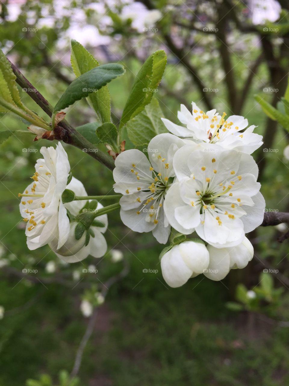 Flowers of Apple  in the garden