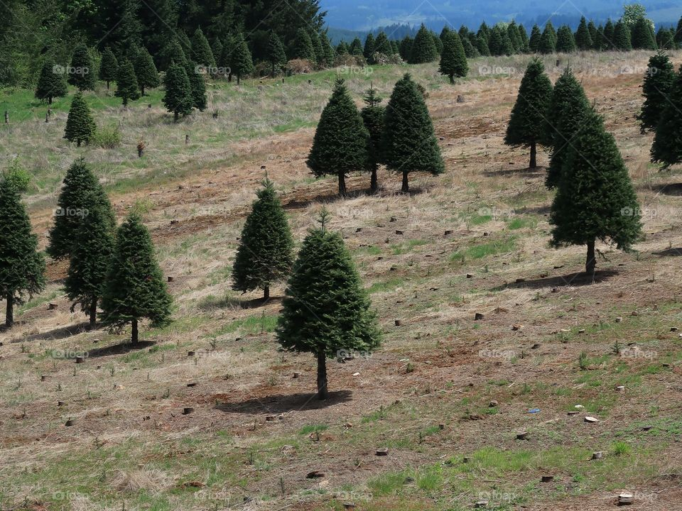 Perfectly shaped trees growing on a hill at a Christmas Tree Farm in Western Oregon during the spring.