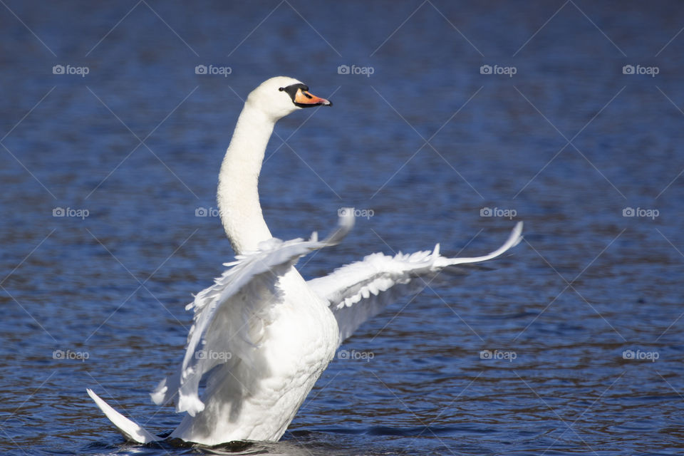 Beautiful swan spreads its wings at lake