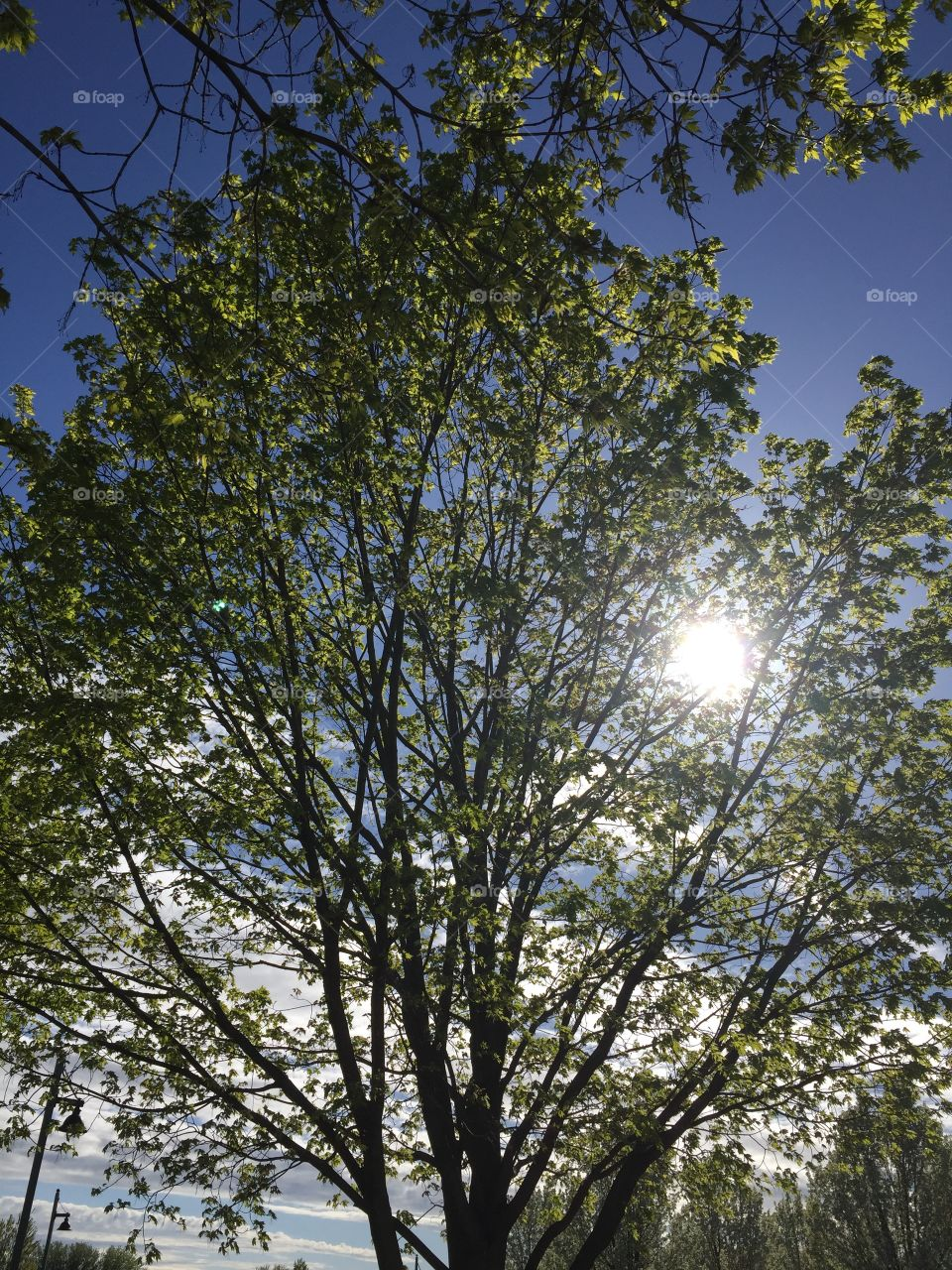 Sun through a flowering tree