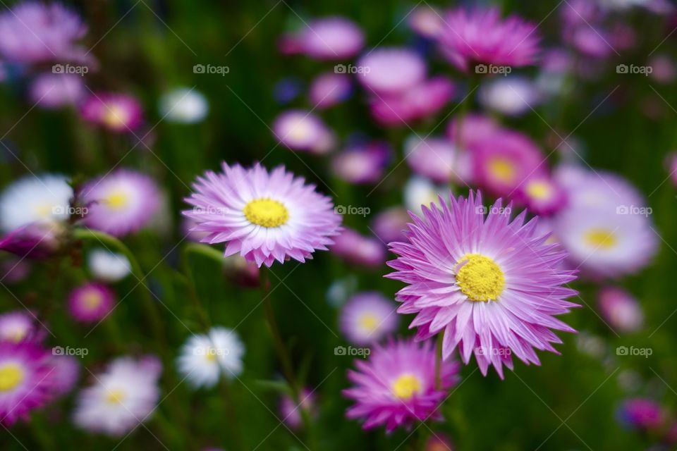 Wildflower called pink sunray is blooming in the garden.