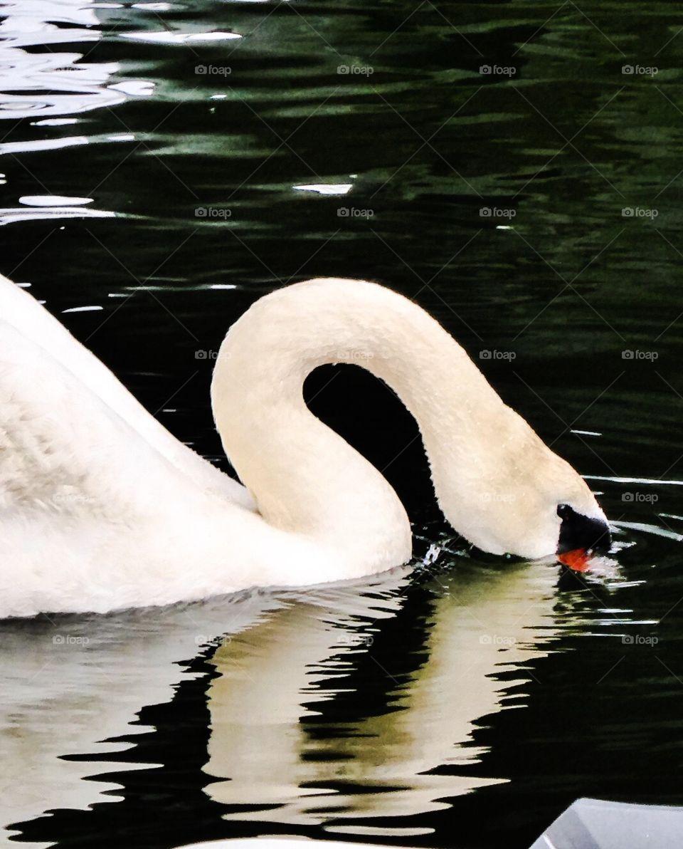 Swan - natural beauty