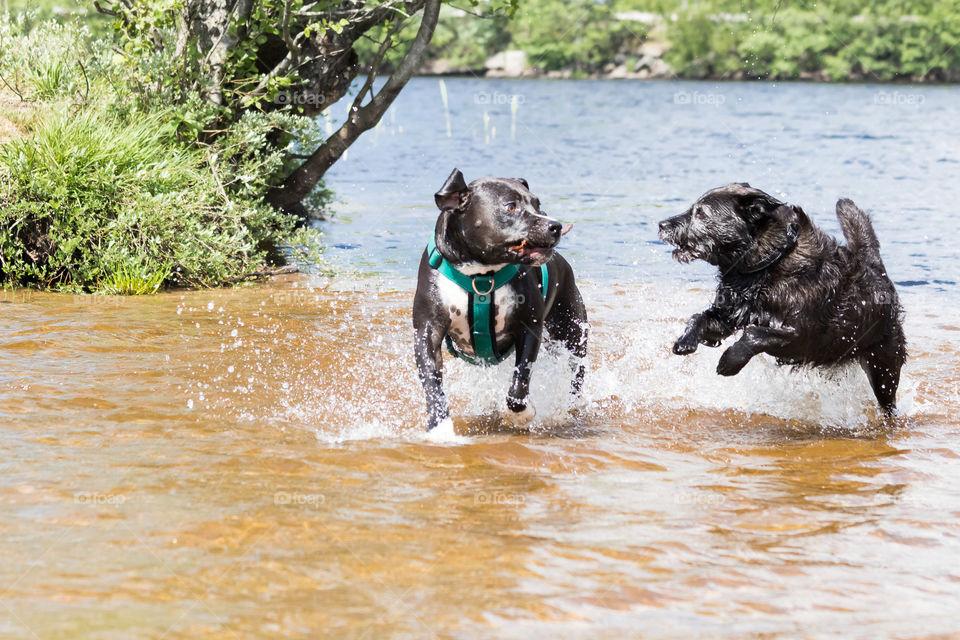 Two dogs playing in the lake  , 2 hundar leker badar i sjö