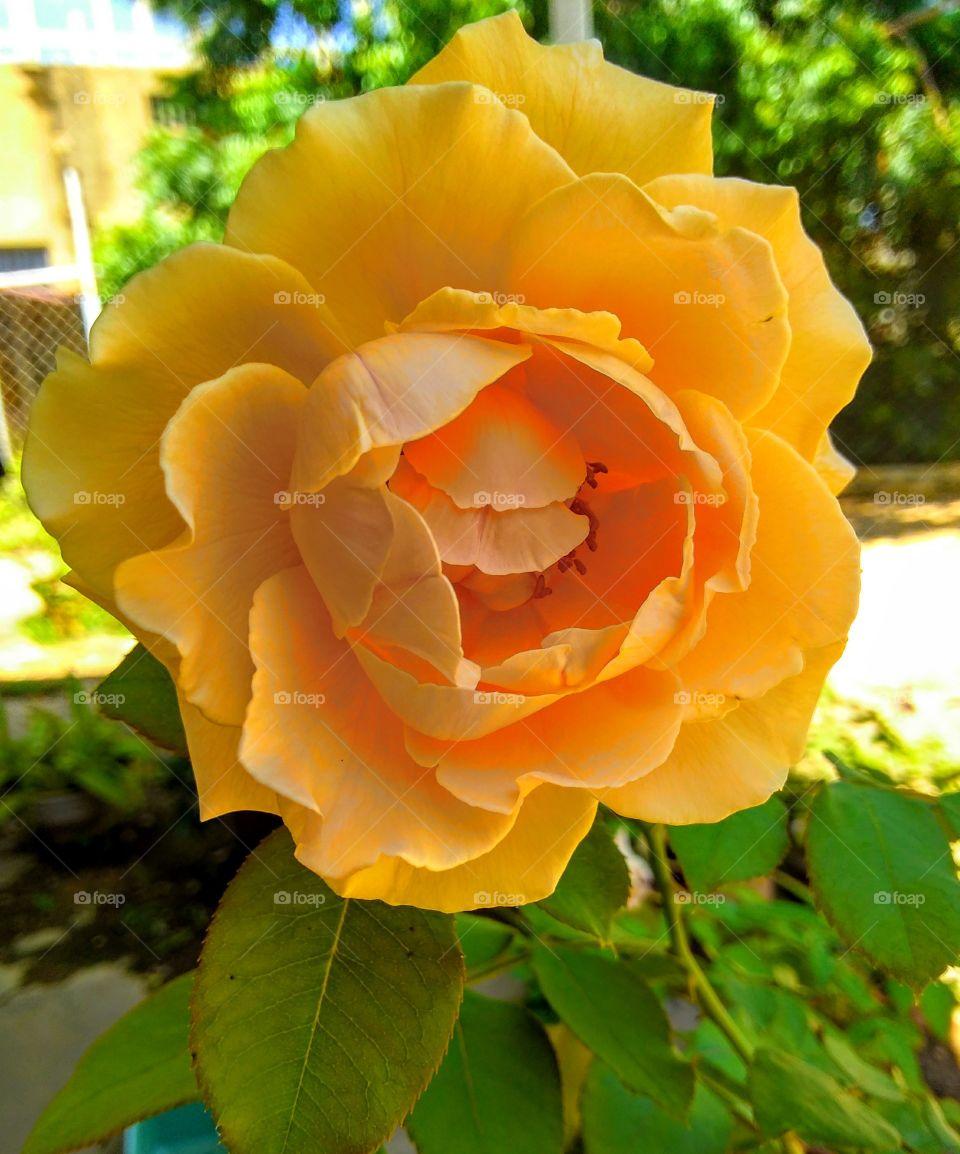 flor amarilla de mi jardín