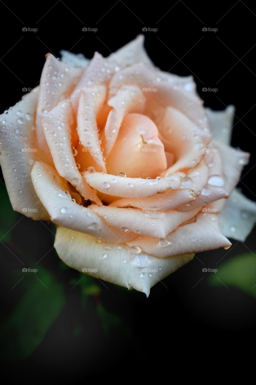 Rose with Love