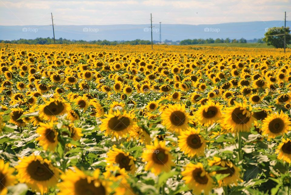 Sunflowers blooming in field