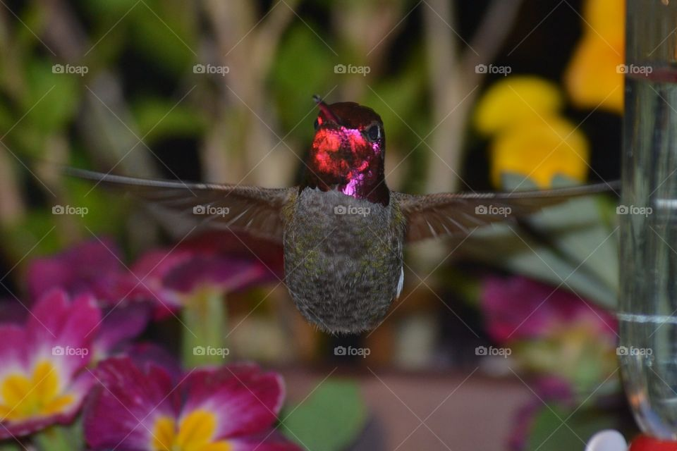 anna's Hummingbird  shiny red head with wing spread out. one of 3 hummingbird s in my yard tonight