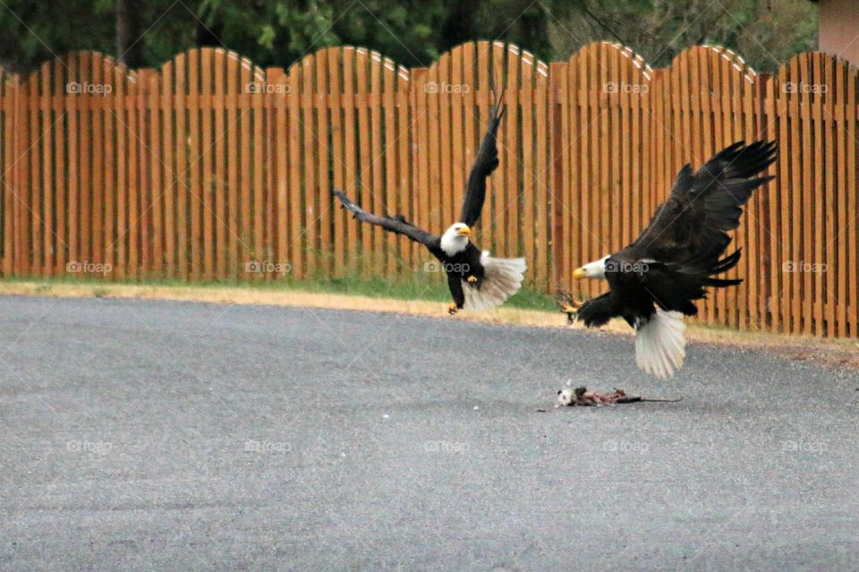 Bald Eagles Dinner. on our way home we ran into these two fighting over a dead opossum.