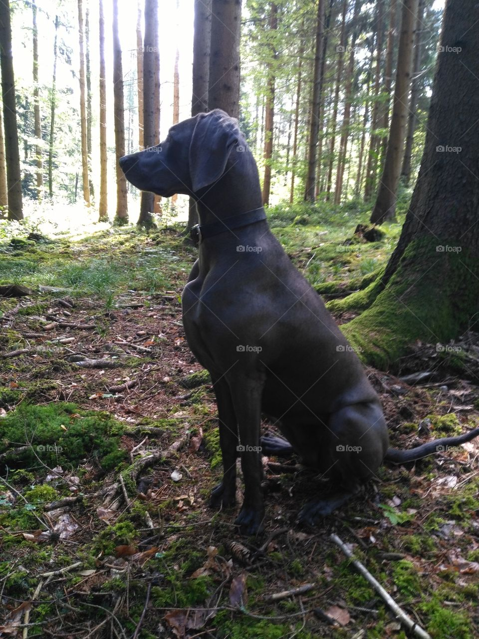 Weimaraner in the forest