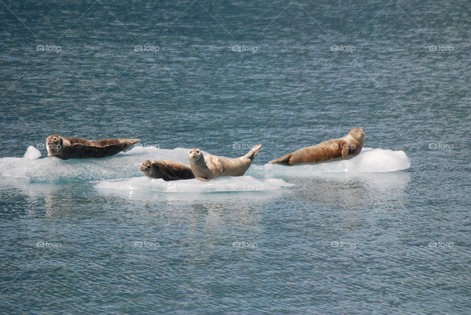 Harbor seals resting on ice chunks near Meares Glacier