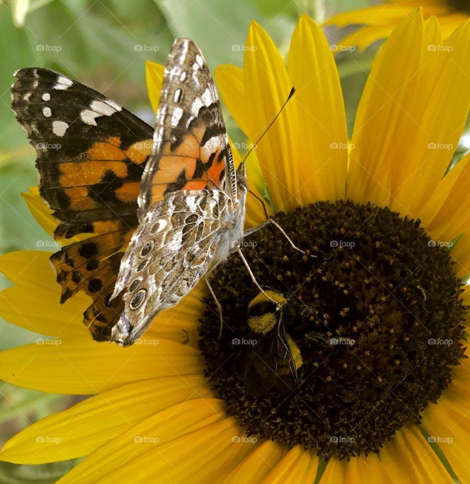 MAJESTIC SUNFLOWER - BUTTERFLIES LEG TOUCHING YELLOW BUMBLEBEE