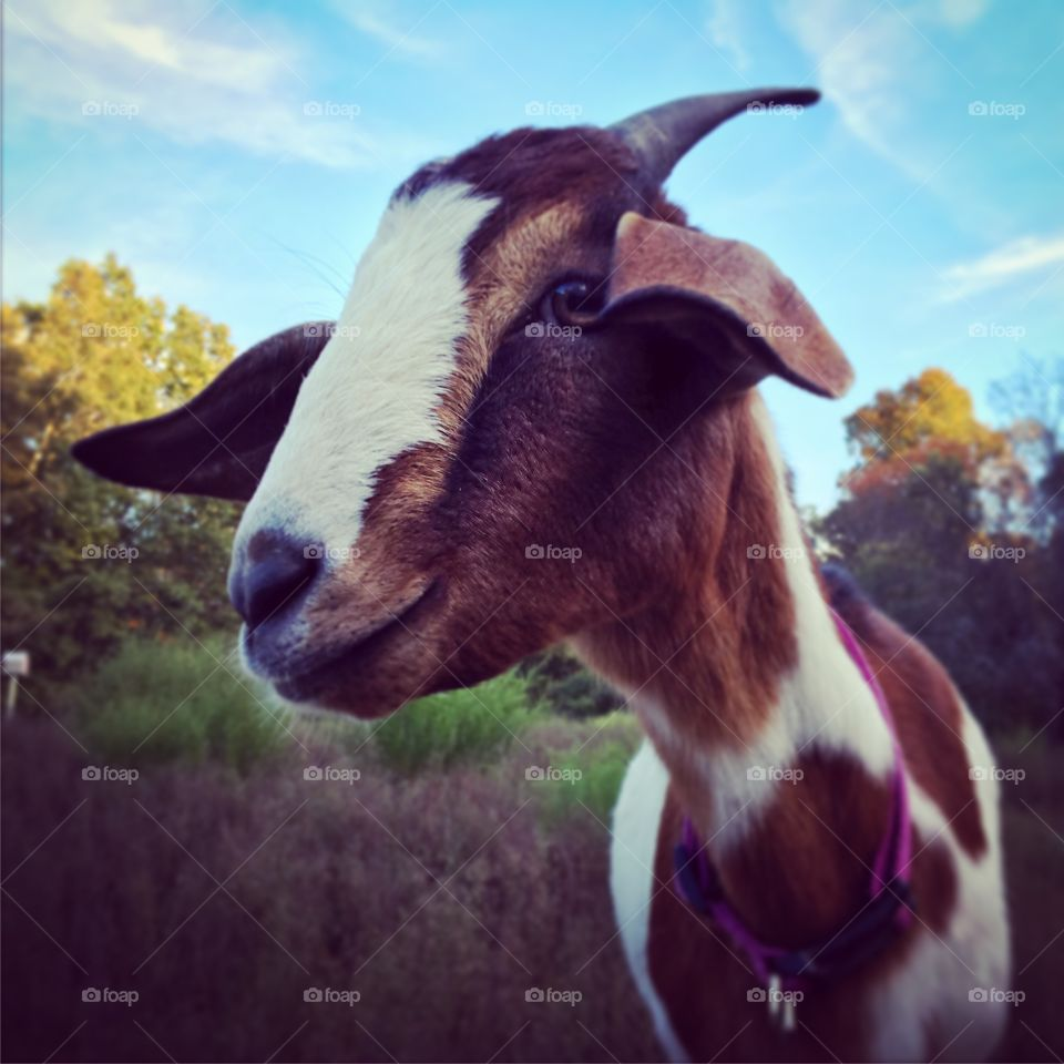 Coconut the Goat