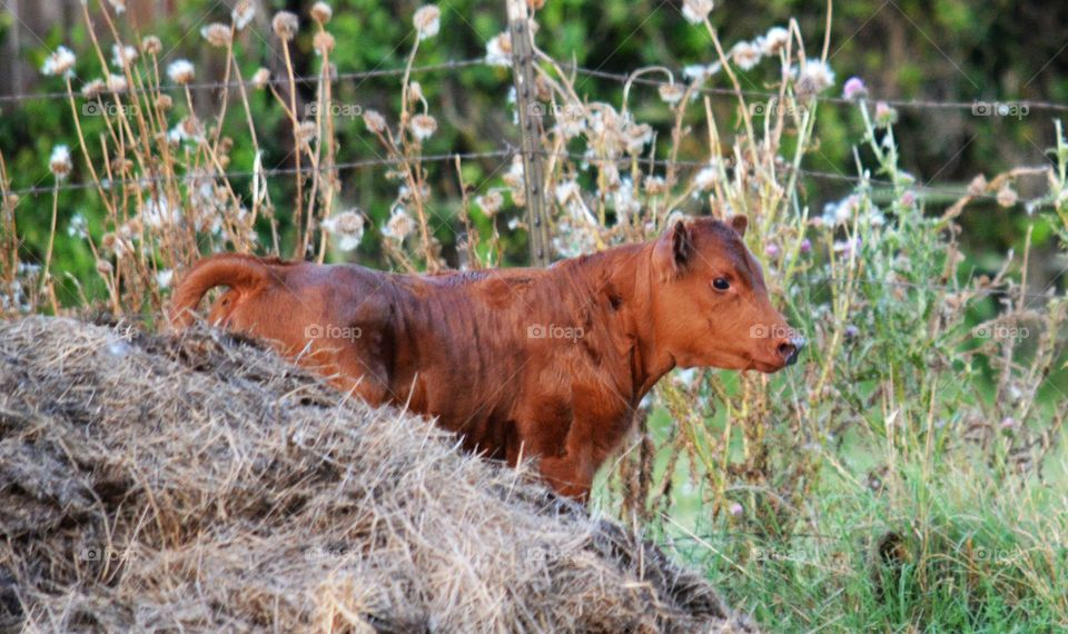 Calf standing on the grassy field