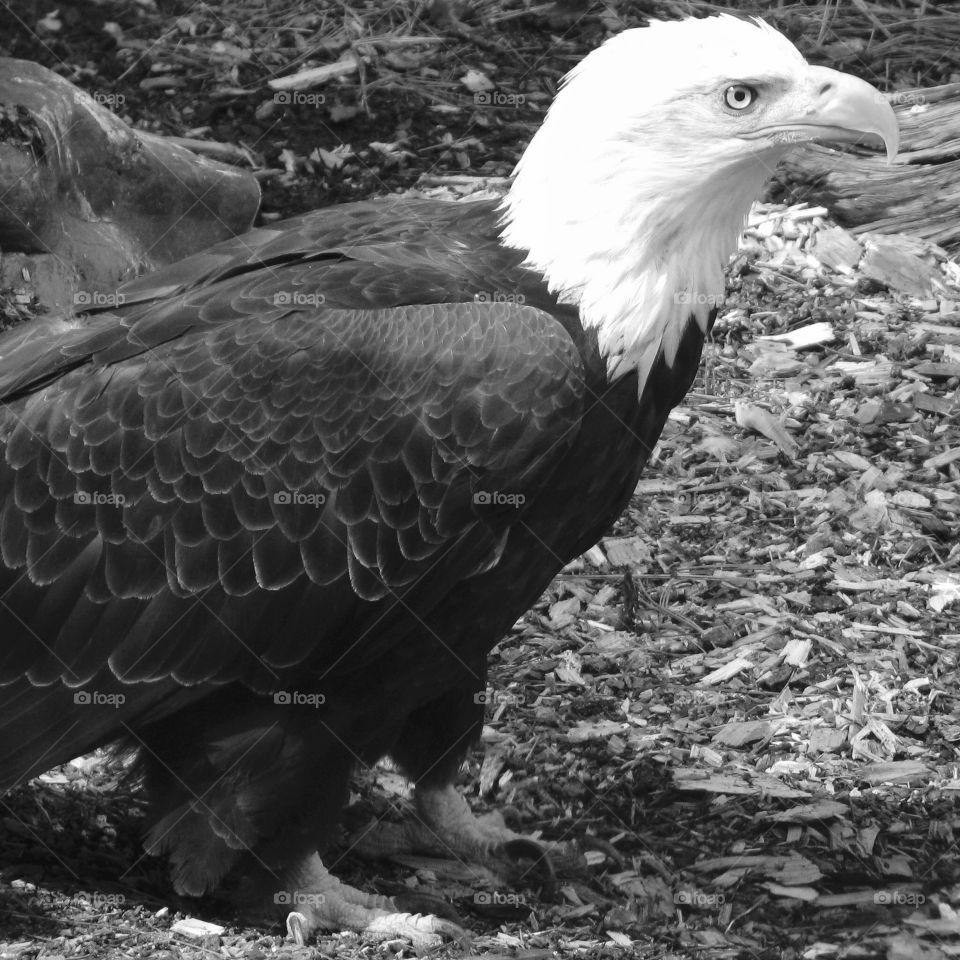 A powerful bald eagle with sharp beak and all seeing eye on the ground.